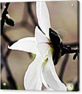 Magnolia In Profile Acrylic Print