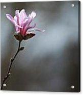 Magnolia In Sun Acrylic Print