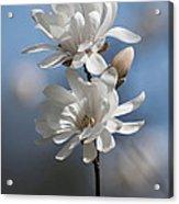 Magnolia Magnificence  3245 Acrylic Print