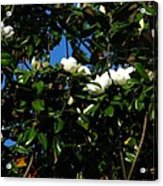 Magnolia Setting Acrylic Print