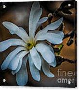 Magnolia Tree Blossum Acrylic Print
