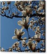 Magnolia Tree Acrylic Print by Rita Haeussler