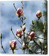 Magnolias In Bud Acrylic Print