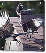 Magpie Dispute Acrylic Print