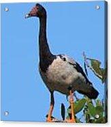 Magpie Goose Acrylic Print