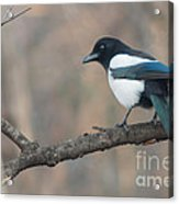 Magpie Perched On Twig Acrylic Print