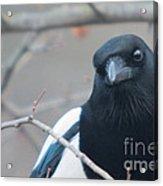 Magpie Portrait Acrylic Print