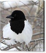 Magpie Profile Acrylic Print