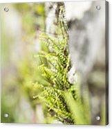 Maiden-hair Spleenwort Acrylic Print
