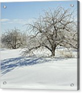 Maine Apple Trees Covered In Ice And Snow Acrylic Print