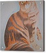 Maine Coon Cat Acrylic Print