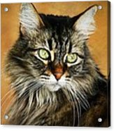 Maine Coon In Topaz Acrylic Print