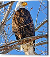 Majestic Bald Eagle Acrylic Print by Greg Norrell