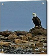 Majestic Bald Eagle Acrylic Print by Rhonda Humphreys