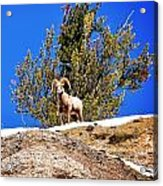 Majestic Big Horn Sheep Acrylic Print