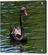 Majestic Black Swan Acrylic Print