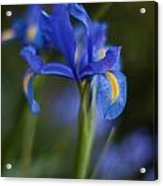 Majestic Blue Iris Acrylic Print