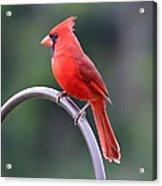 Majestic Cardinal Acrylic Print