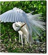 Majestic Egret Acrylic Print