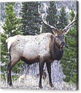 Majestic Elk Acrylic Print