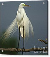 Majestic Great Egret Acrylic Print
