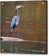 Majestic Heron Acrylic Print