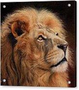 Majestic Lion Acrylic Print by David Stribbling