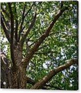 Majestic Oak Acrylic Print