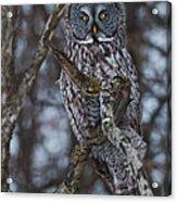 Majestic Owl Acrylic Print
