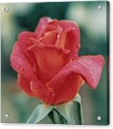 Majestic Red Rose Acrylic Print