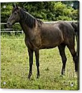 Majestic Stallion Horse In A Pasture Acrylic Print