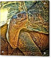 Majestic Tortoise Acrylic Print