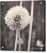 make a wish II Acrylic Print