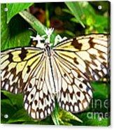 Malabar Tree Nymph Butterfly Acrylic Print