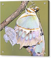 Malachite Butterfly Emerging 6 Of 6 Acrylic Print