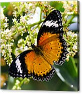 Malay Lacewing Butterfly  Acrylic Print