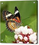 Malay Lacewing Acrylic Print