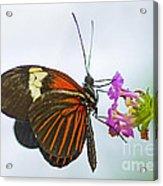Malay Lacewing Acrylic Print