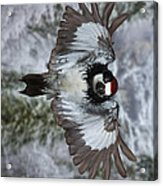 Male Acorn Woodpecker - Phone Case Design Acrylic Print by Gregory Scott