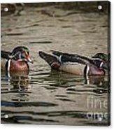 Male Adult Wood Ducks Acrylic Print