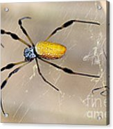 Male And Female Golden Silk Spiders Acrylic Print
