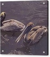 Male And Female Pelicans Acrylic Print