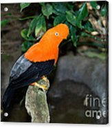 Male Andean Cock-of-the-rock Acrylic Print