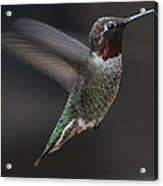 Male Anna Hummingbird In Flight Acrylic Print