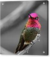Male Anna's Hummingbird Acrylic Print by Old Pueblo Photography