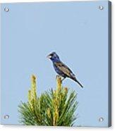 Male Blue Grosbeak  Acrylic Print