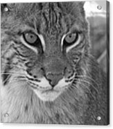 Male Bobcat - Black And White Acrylic Print by Jennifer  King