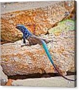 Male Bonaire Whiptail Lizard Acrylic Print