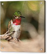 Male Broad-tailed Hummingbird Acrylic Print by Old Pueblo Photography