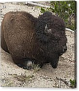 Male Buffalo At Hot Springs Acrylic Print